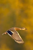 Mallard Duck in autumn