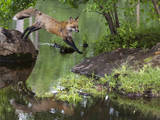USA  Minnesota  Sandston Red fox leaping from rock to shore