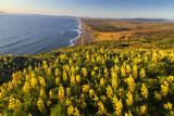 Yellow lupine above Point Reyes Beach California  USA