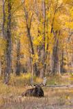 Moose bull in golden willows