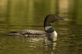 Common loon male on Beaver Lake near Whitefish  Montana  USA