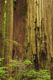Redwoods  Jedediah Smith State Park  California  USA