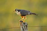Aplomado Falcon adult feeding  south Texas  USA
