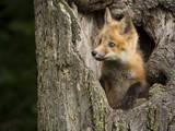 USA  Minnesota  Minnesota Wildlife Connection Red Fox in a tree