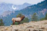 Elk bull bugling