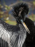 Anhinga preens while drying its feathers  Everglades NP  Florida  USA