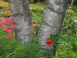 Birch Tree and Flowers  Canada