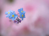 Forget-Me-Not Flowers  New Brunswick  Canada