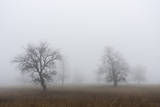 Oak forest in fog in autumn