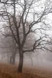 Oak forest in fog in autumn  Romania