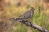 USA  Colorado  Woodland Park Mourning dove on branch