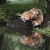 USA  Minnesota  Sandstone Red fox and kit reflected in water's edge