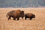 American Bison cow and calf in Teton NP  Wyoming  USA