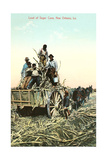 Sugar Cane Harvest  New Orleans