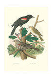 Red-Eyed Vireo  Red Wing Blackbird