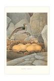 Ruffed Grouse Nest and Eggs