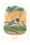 Belted Kingfisher and Egg