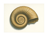 Ribbed Nautilus Seashell