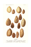 Variety of Almonds