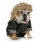 Female Dog - English Bulldog Wearing Blonde Wig and Black Leather Coat