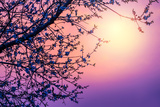 Cherry Tree Flower Blossom over Purple Sunset