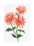 Chrysanthème orange Reproduction d'art par Surovtseva