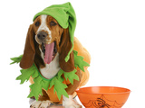 Halloween Dog - Basset Hound Dressed Up Like a Pumpkin Sitting Beside Trick or Treat Bowl