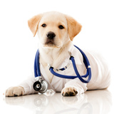 Little Dog as a Vet Wearing Robe and Stethoscope