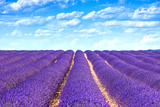 Lavender Flower Blooming Fields Endless Rows