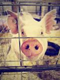 A Pig at a Local Fair