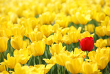Yellow Tulips and One Red