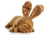 Puppy Wearing Bunny Ears - Dog De Bordeaux Wearing Easter Bunny Ears on White Background