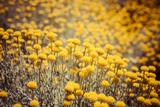 Field Flowers/Buttercup