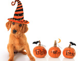 Cute Puppy Wearing a Halloween Witch Hat with Pumpkins