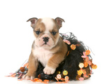 Halloween Puppy - English Bulldog Dressed Up for Halloween - 7 Weeks Old