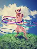 A Chihuahua Using a Hula Hoop