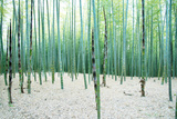 Young Bamboo Forest  with Some New Bamboo Shoots