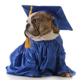 Pet Graduation - English Bulldog Wearing Graduate Costume
