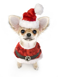 Christmas Chihuahua Puppy with Santa Costume