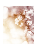 White Cherry Flowers on Sunny Day  Floral Branch of Blooming Tree in the Garden