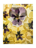 Pressed Pansy Background