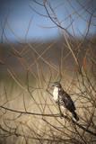 USA  Oregon  Baskett Slough NWR  immature Red-tailed Hawk