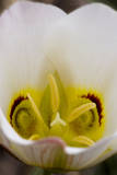 Capitol Reef NP  Utah  USA Detail  blossom of sego lily