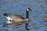 USA  Oregon  Baskett Slough NWR  Canada Goose