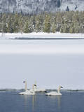 Harriman SP  Idaho USA Trumpeter swans at Golden Lake in winter