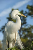 USA  Florida  Orlando Great Egret at Gatorland