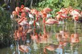 USA  Florida  Orlando Flamingoes and White Ibis at Gatorland