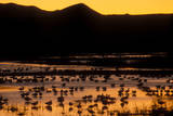 Snow geese and marsh at dusk  Bosque del Apache NWR  New Mexico  USA