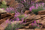 Capitol Reef NP  Utah  USA Northern sweetvetch in bloom
