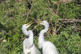 USA  Florida  Orlando Gatorland  Great Egrets